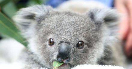 Ein Koala-Baby kaut an einem Eukalyptusblatt. Die Koalas sind in Gefahr: Die Zahl der australischen Beutelsäuger nimmt einer neuen Studie zufolge rapide ab.