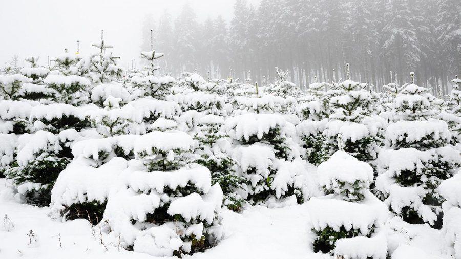 Weihnachten 2021: Nordmanntanne bleibt der Topseller