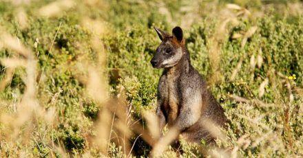 Kängurus stehen inAustralien unter besonderem Schutz. (Symbolbild)