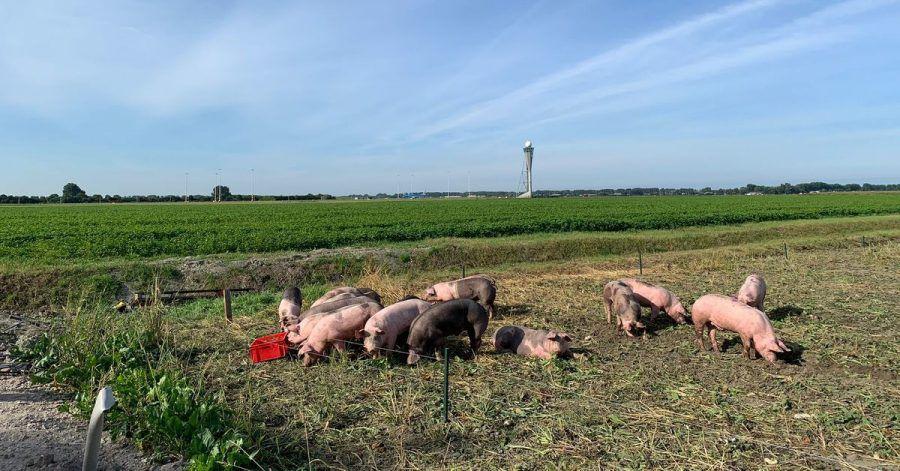Schweine grasen am Flughafen Schiphol. Sie sollen hier Vögel von den Start- und Landebahnen fernhalten und dadurch helfen, Kollisionen mit Flugzeugen zu verhindern.