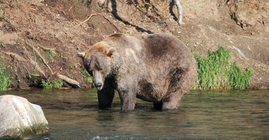 Otis, ein älterer Braunbär, ist Alaskas «Fat Bear» 2021.