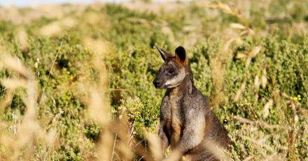 Seit mehr als zehn Jahren lebt ein Känguru auf einem Bauernhof in Waghäusel.