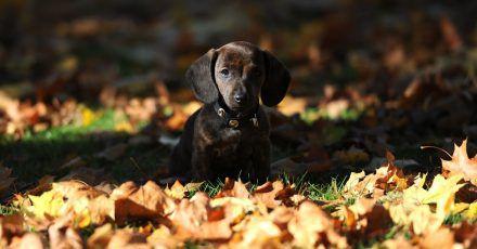 Wer mit seinem Welpen zum Herbstspaziergang startet, sollte ihn ganz genau im Blick behalten, damit er beim Spielen keine Kastanie verschluckt. Das kann lebensgefährlich sein.