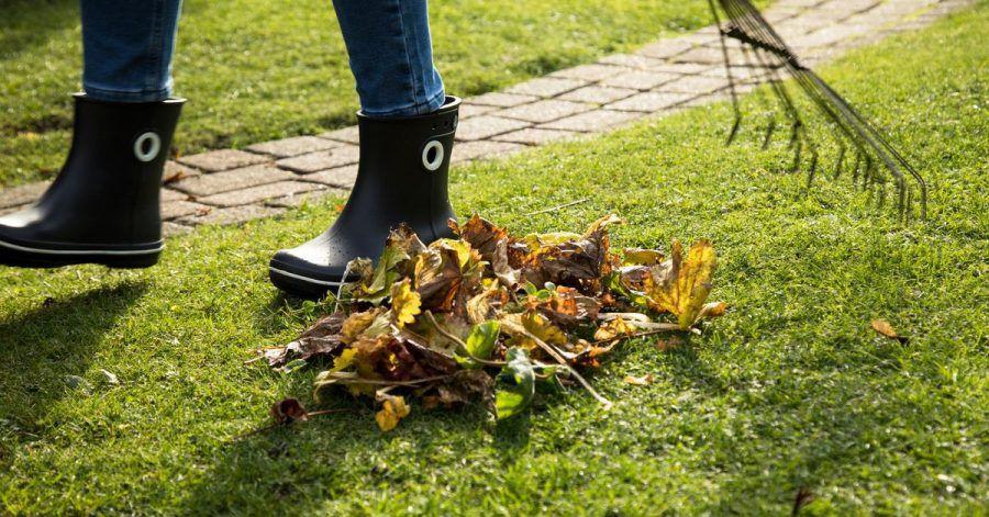 Damit der Rasen im nächsten Jahr gesund ist, sollte Laub entfernt werden. Denn bleiben die alten Blätter liegen, können die darunter liegenden Gräser faulen oder schimmeln.