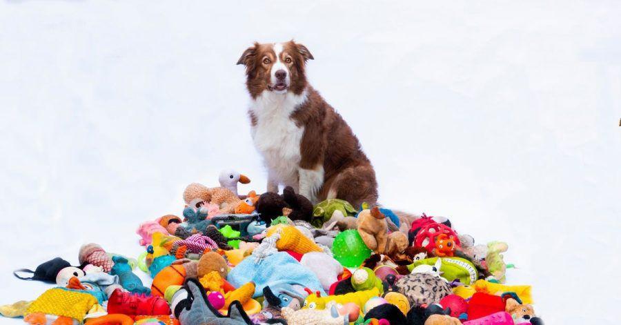 Nalani sitzt neben einem Haufen Spielzeug. Manche Hunde lernen binnen kurzer Zeit viele neue Wörter und können sie sich mindestens zwei Monate lang merken.