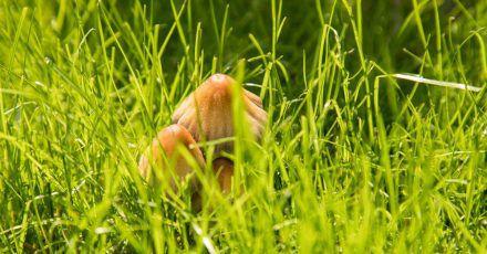 Verschiedene Hut- und Ständerpilze können für einen sogenannten Hexenring auf dem Rasen sorgen.