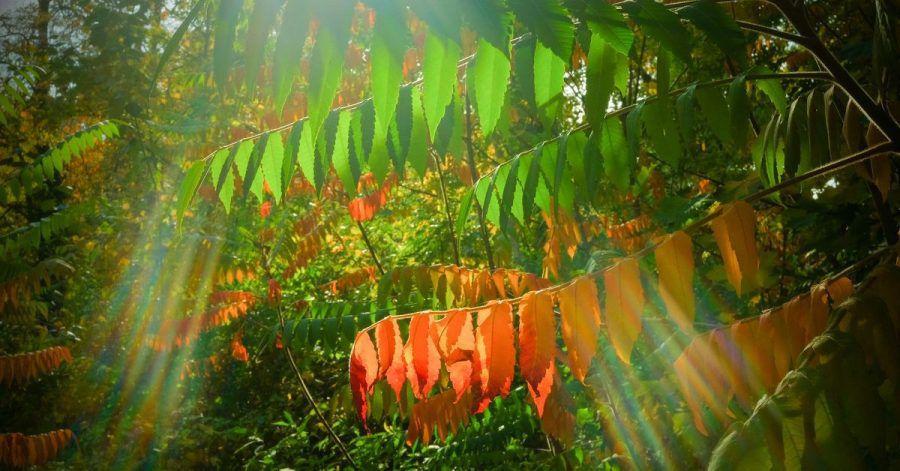 Wenn im Herbst Pflanzen an kürzeren Tagen weniger grünes Chlorophyll produzieren, verfärben sich die Blätter bunt. So wechselt auch der Essigbaum von grün auf orange-rot.
